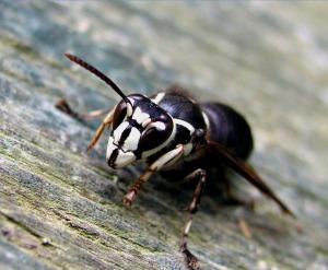 Bald Faced Hornet