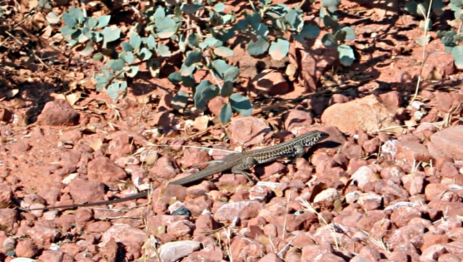 Spotted Whiptail Lizard