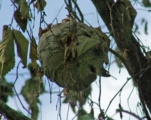 Bald Faced Hornet's Nest
